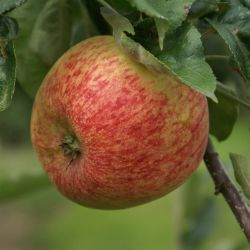 Duchess of Oldenburg Apple