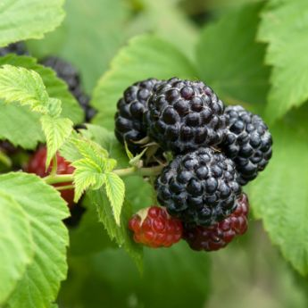 Black Raspberry Plants