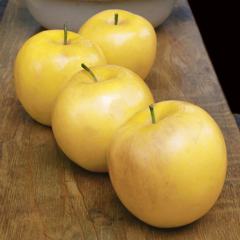 golden delicious and apple Golden delicious is a very popular as a supermarket apple variety, and now undergoing something of a rehabilitation amongst apple enthusiasts who are re-discovering its potential.