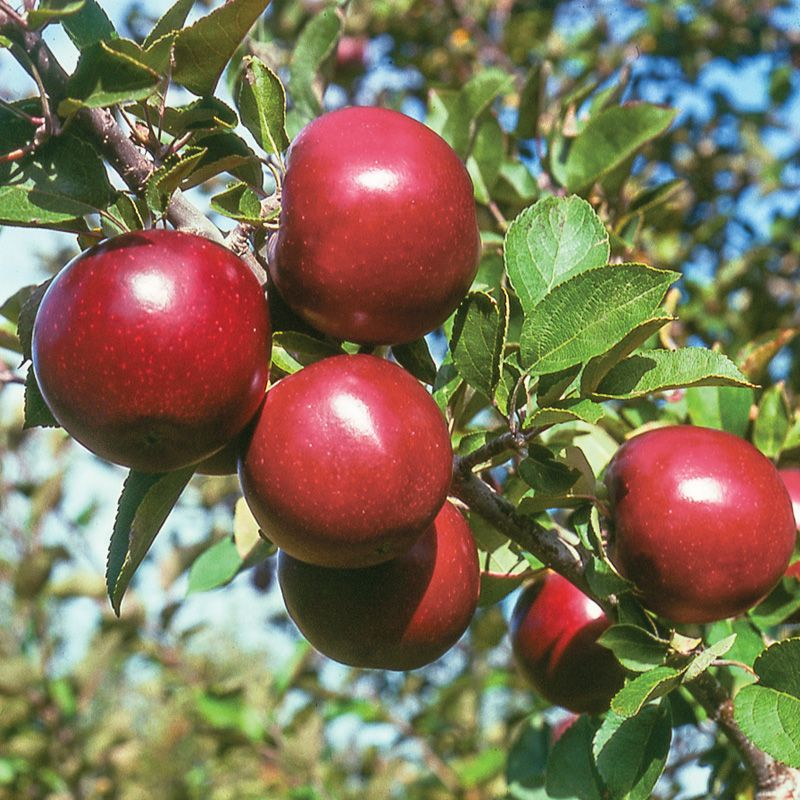 StarkspurR Arkansas Black Apple