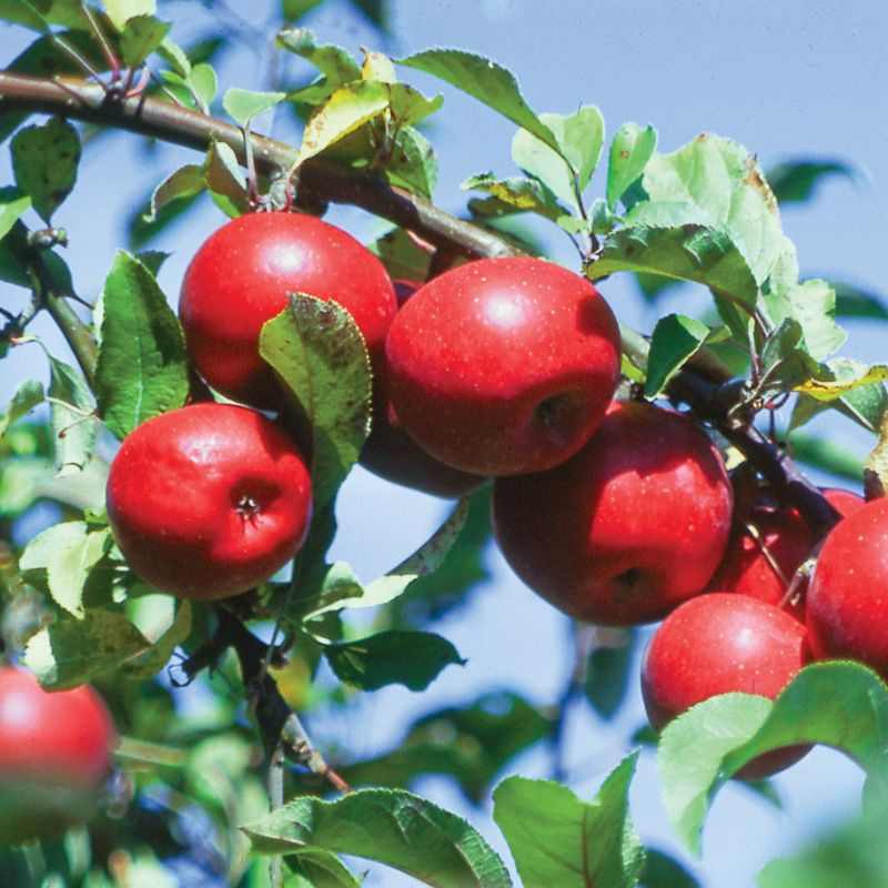 Starkspur® Red Rome Beauty Apple - Apple Trees - Stark Bro's