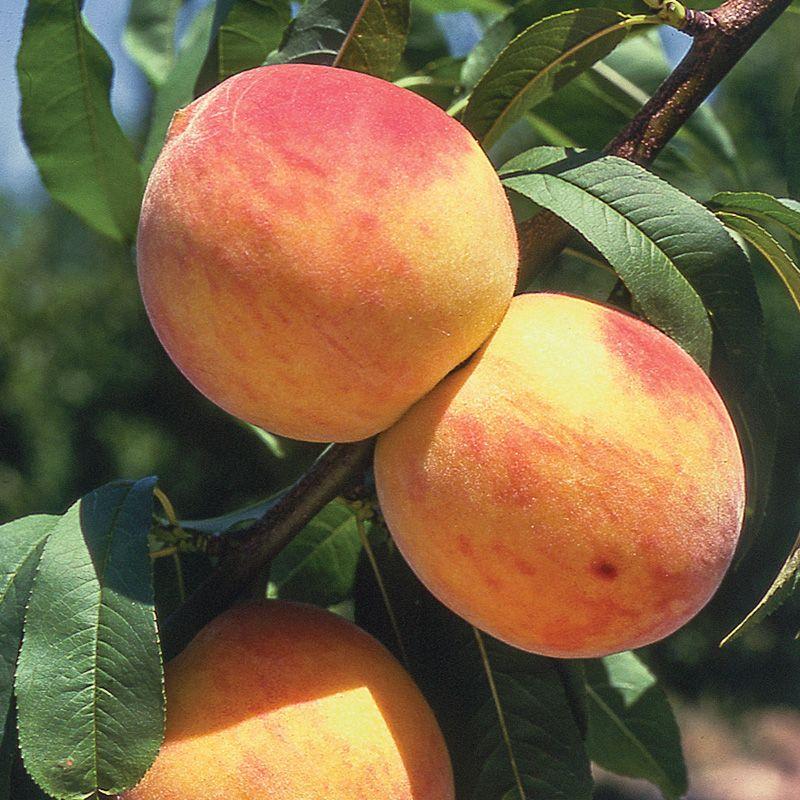 Reliance Peach - Peach Trees - Stark Bro's