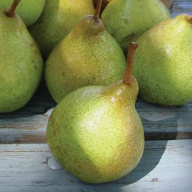 Stark® SugarSweet Pear