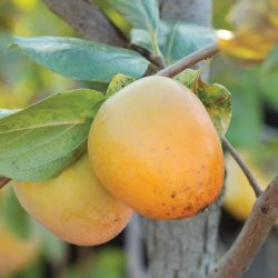 Photo of Prok American Persimmon