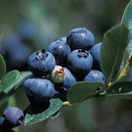 Photo of Duke Blueberry