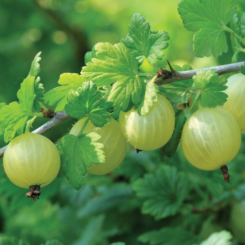 Image result for gooseberry