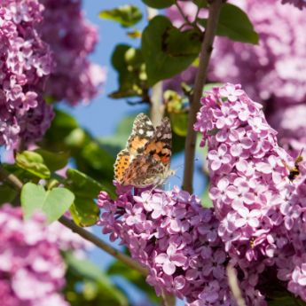 Reblooming Lilacs From Stark Bro S Everblooming Lilac Bushes