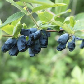 Honeyberry Plant Collection