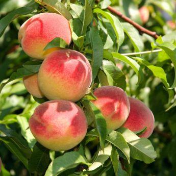 Dwarf Peach Trees From Stark Bro S Dwarf Peach Trees For