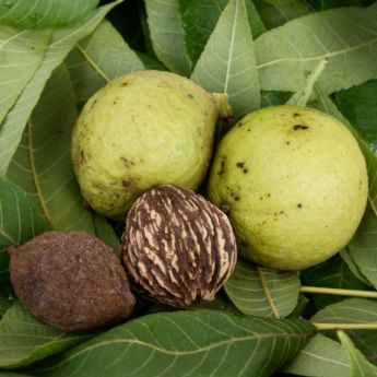 black walnut trees from stark bros black walnut trees