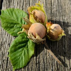 Filbert Hazelnut Trees