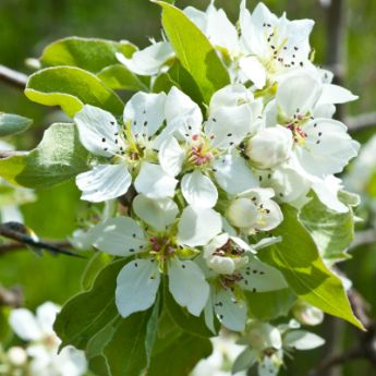 Self-Pollinating Pear Trees
