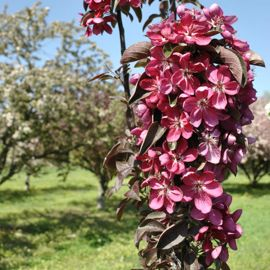 Stark® Maypole Flowering Crabapple