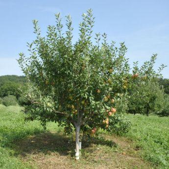 Heirloom fruit trees from stark bro 39 s heirloom fruit for Fruit trees for sale