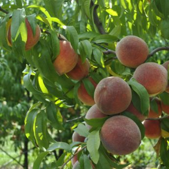 Heirloom Peach Trees