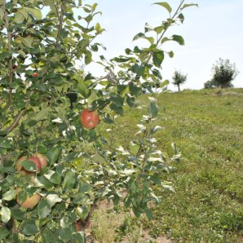 Honeycrisp Apple Tree Pollinators