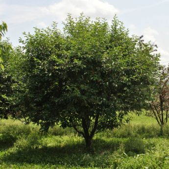Semi-Dwarf Cherry Trees