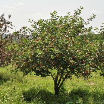dwarf cherry trees from stark bros dwarf cherry trees