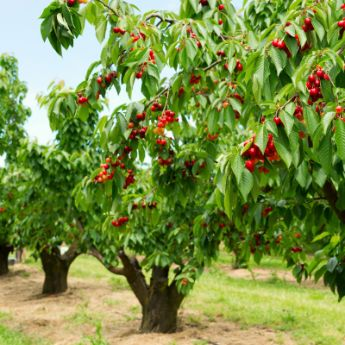 Standard cherry trees for sale buy cherry trees from for Cherry trees for sale