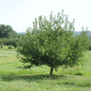 Semi-Dwarf Fruit Trees
