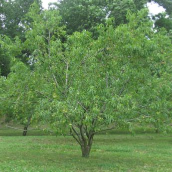 Standard Fruit Trees