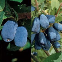 Blue Honeyberry Plant Collection