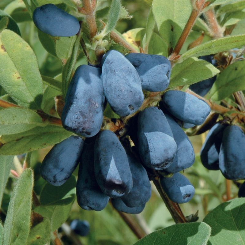 Blue Honeyberry Plant Collection Honeyberry Plants