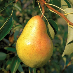 Wildlife Pear Tree Collection