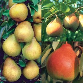 Perfect Pear Tree Collection