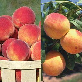 Cold-Hardy Peach Tree Collection