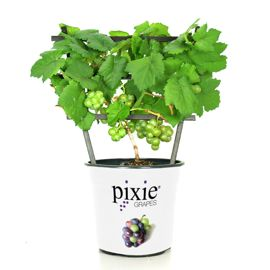 Pixie® Pinot Meunier White Grape