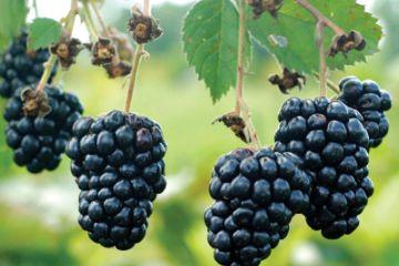 Blackberries: Planting, Growing, and Harvesting Blackberry ...