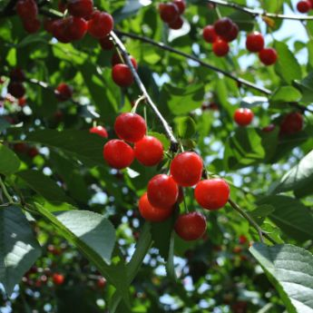 Cherry trees for sale buy cherry trees from stark bro 39 s for Cherry trees for sale