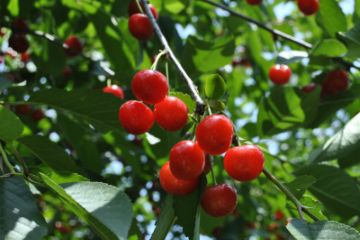 How To Grow Cherry Trees Stark Bros