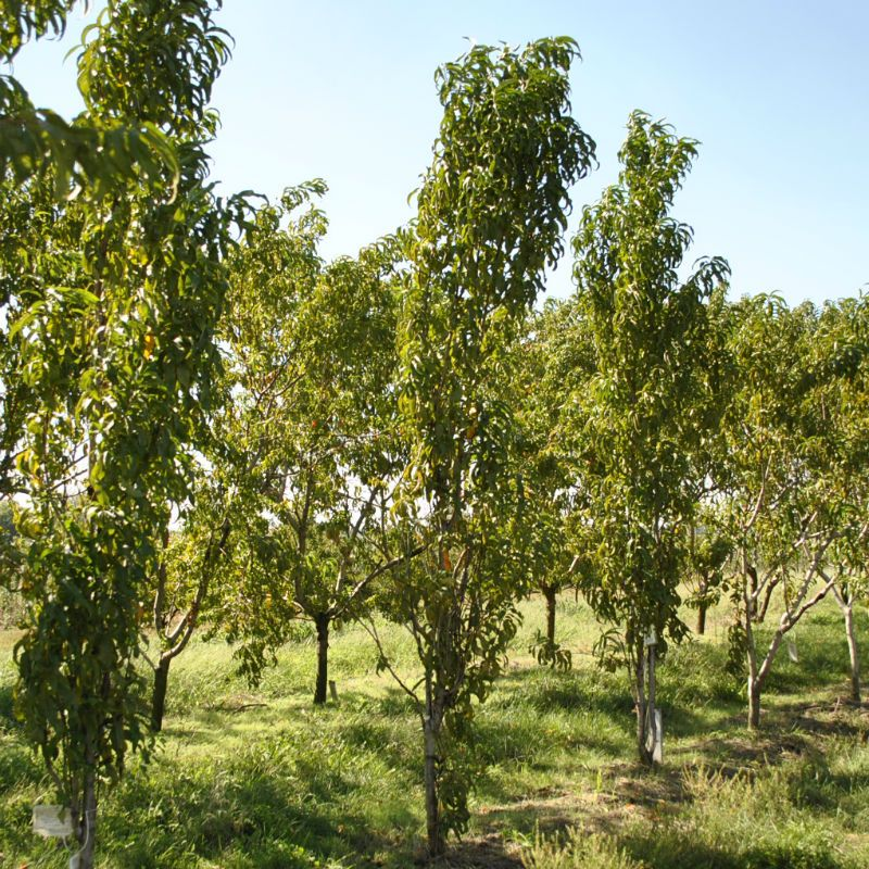Crimson rocket peach peach trees stark bro 39 s for The peach tree