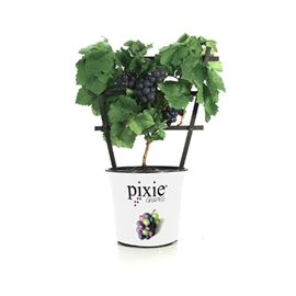 Pixie® Cabernet Franc Grape