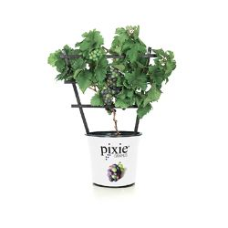 Pixie® Pinot Meunier Purple Grape
