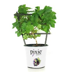 Pixie® Riesling Grape