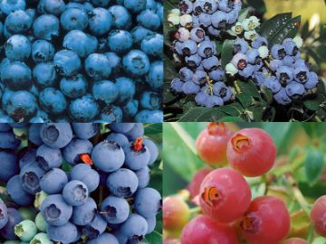 Edible Landscape Blueberry Plant Collection Blueberry