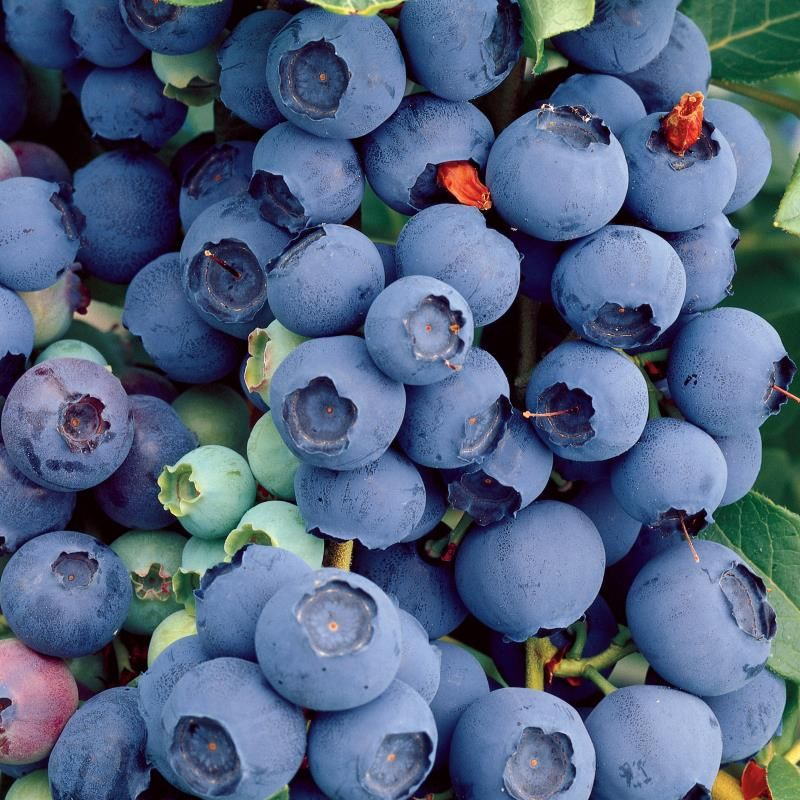 Edible Landscape Blueberry Plant Collection Stark Bros
