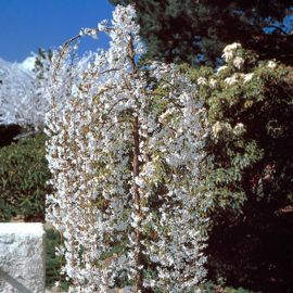 Photo of Snow Fountains® Weeping Cherry