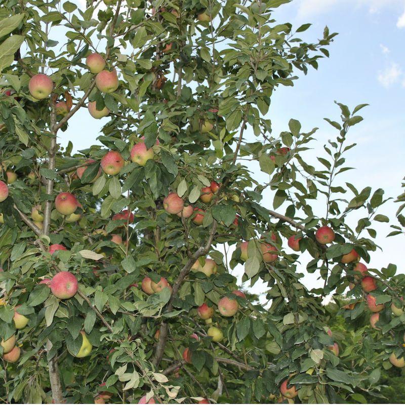 apple-trees