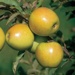Photo of GoldRush Apple