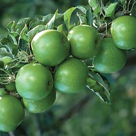Starkspur® Granny Smith Apple