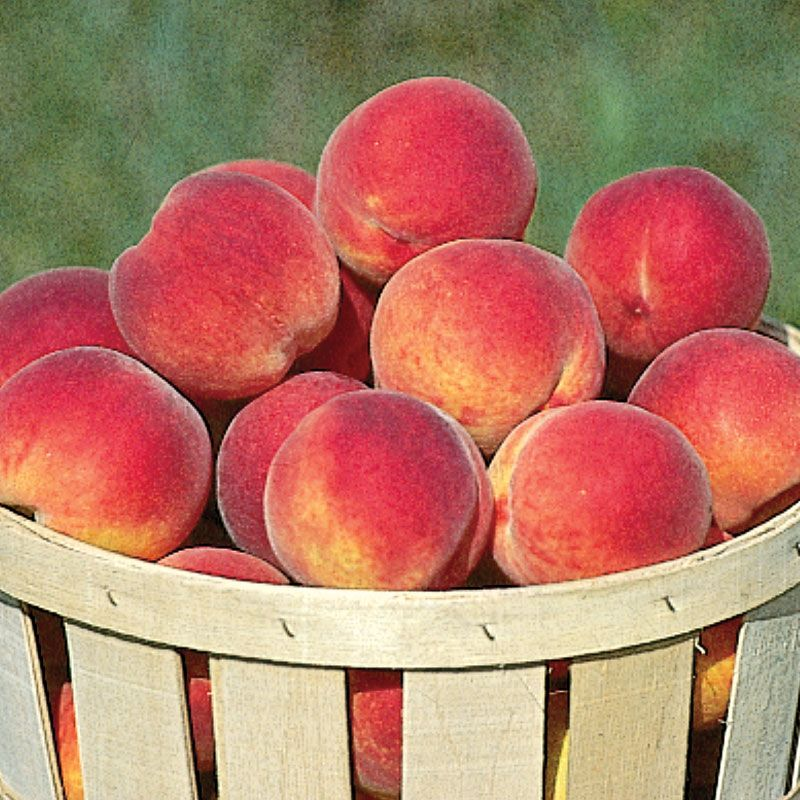 Intrepid Peach - Peach Trees - Stark Bro's