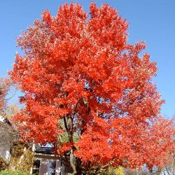 Photo of Red Sunset® Maple
