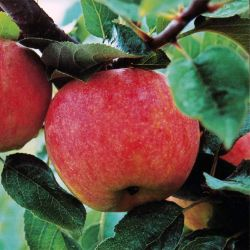 Photo of Stark® GrandGala™ Apple