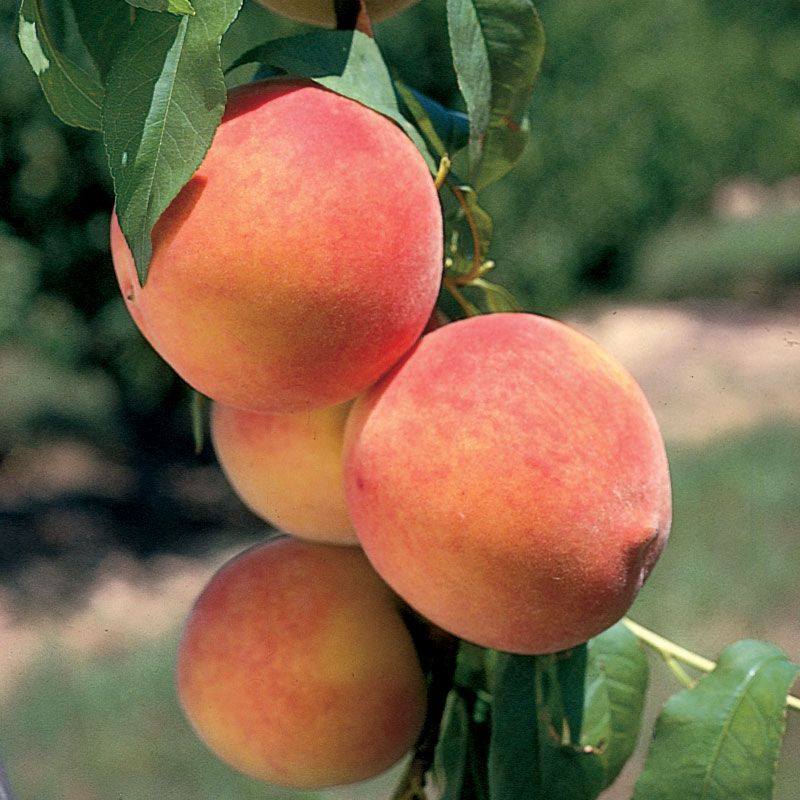 Stark Bros catalog offers the highest quality fruit and nut trees, berry plants and tools with huge coupon code savings for your orchard or garden - featured at dewittfbdeters.tk