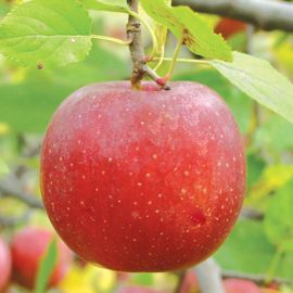 Stark® Little Jewel Apple