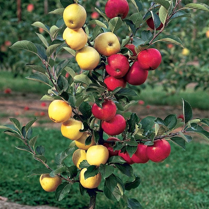stark® double delicious® apple  apple trees  stark bro's, Beautiful flower